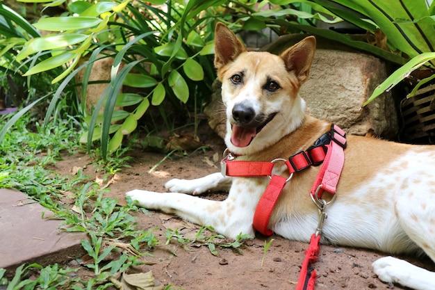 Un mignon blanc et marron ridgeback chien sangles de cravate en rouge couché sur l'herbe verte dans le jardin. concept animal.
