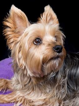 Mignon et charmant jeune chien yorkshire terrier sur fond noir