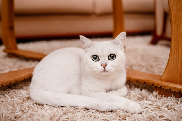 Mignon chat blanc aux yeux bleus se penche sur l'appareil photo et s'assoit sur le tapis à la maison