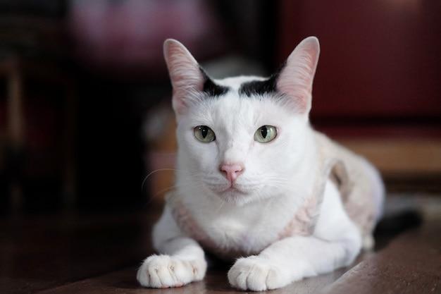 Mignon chat blanc thaïlandais profiter et assis sur le plancher en bois dans la maison avec la lumière naturelle du soleil.