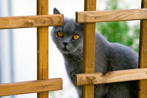 Mignon chat britannique gris aux yeux orange relaxant