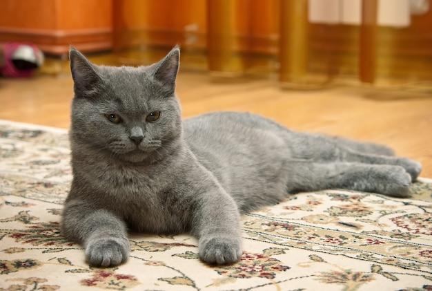 Mignon chat british shorthair relaxant