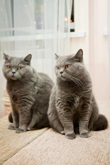 Mignon chat british shorthair avec son reflet dans un miroir