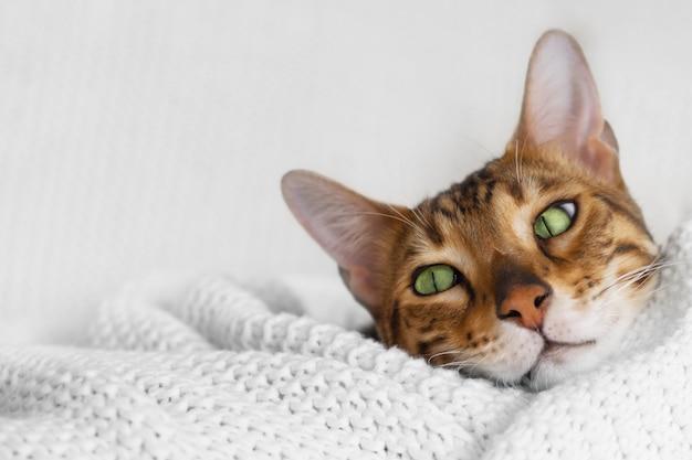 Mignon chat du bengale aux yeux verts brun couché sur un plaid tricoté blanc sur une surface blanche à la maison confortable, gros plan
