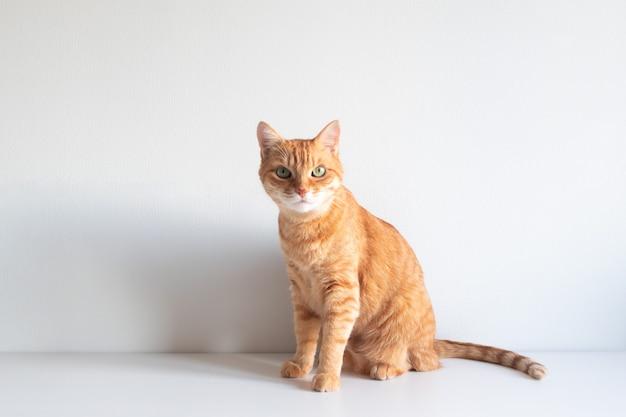 Mignon chat gingembre assis et regardant curieusement sur une surface blanche