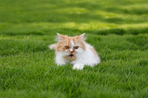 Le mignon chat persan est assis sur un champ d'herbe verte