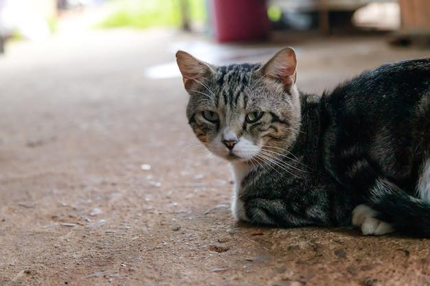 Le mignon chat thaïlandais est accroupi, un chat regarde la caméra, un chat heureux et sympathique