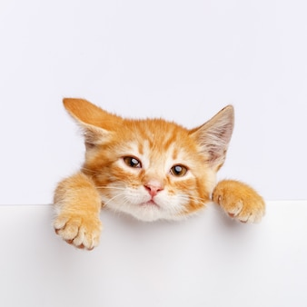Un mignon chaton au gingembre sort du bord d'un tableau blanc. copiez l'espace.