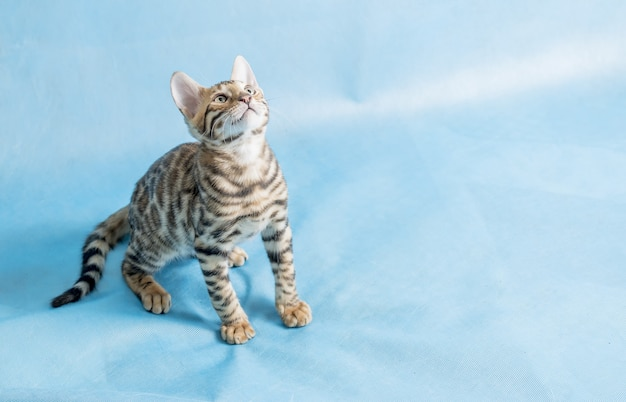 Un mignon chaton bengal en levant