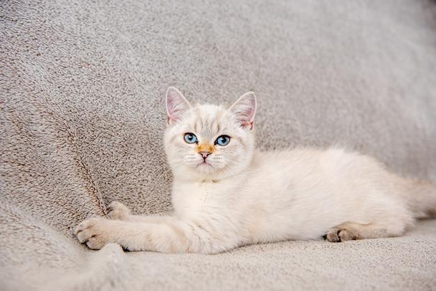 Un mignon chaton britannique gris clair aux yeux bleus est assis sur un canapé gris