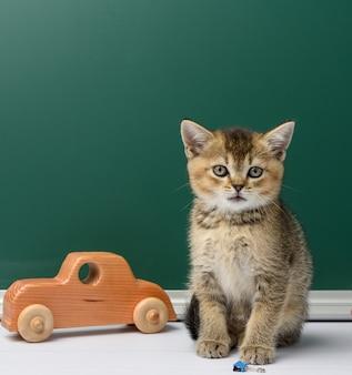 Mignon chaton chinchilla doré écossais assis tout droit sur un livre jaune sur un fond de tableau de craie verte, retour à l'école