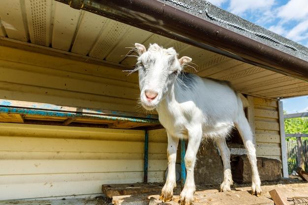Mignon chèvre en liberté sur une ferme d'animaux écologiques naturels biologiques paissant librement dans la cour sur le fond du ranch ...