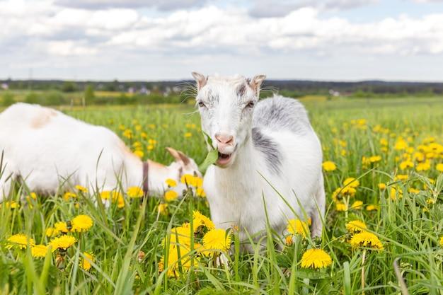 Mignon chèvre en liberté sur une ferme d'animaux écologiques naturels biologiques paissant librement dans un dôme de fond de prairie ...