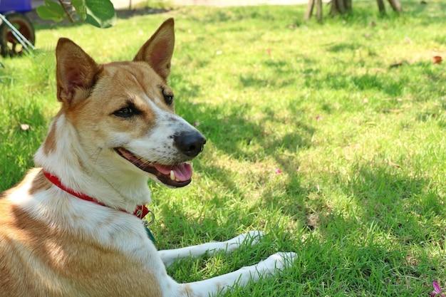 Un mignon chien blanc et marron porte un tour de cou rouge allongé sur l'herbe verte dans le parc