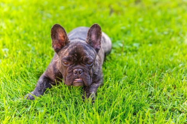 Mignon chien domestique bringé race de bouledogue français