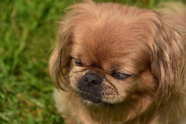 Mignon chien pékinois au gingembre avec son nez froissé tout en jouant à l'extérieur.