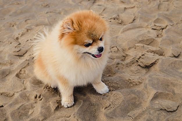 Un mignon chien poméranien orange moelleux assis sur une plage de sable par une journée d'été ensoleillée