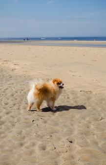 Un mignon chien poméranien orange moelleux sur une plage de sable sur une journée d'été ensoleillée
