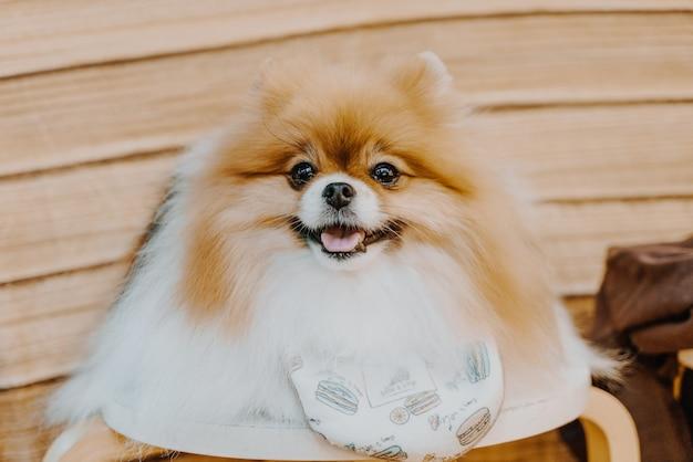 Mignon chien poméranien