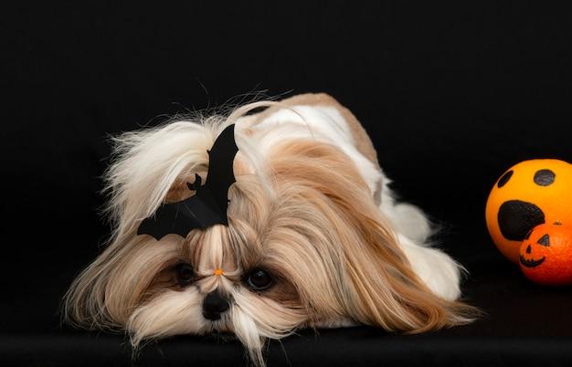 Un mignon chien shih tzu avec des agrumes d'halloween