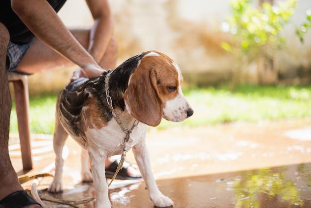 Mignon chiot beagle prendre une douche