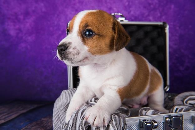 Le mignon chiot jack russell terrier est assis dans une valise pour voyager.