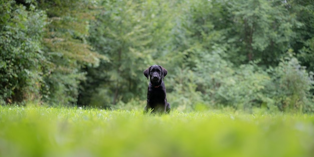 Mignon chiot labrador retriever noir assis dans l'herbe verte à l'extérieur avec forêt en arrière-plan.