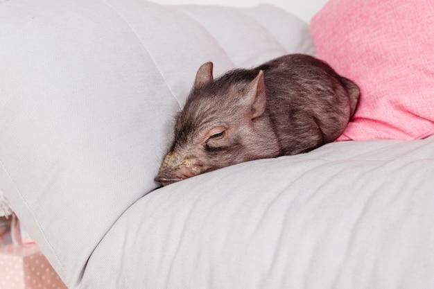 Mignon cochon noir endormi sur le canapé. décorations symbole du calendrier chinois de l'année.