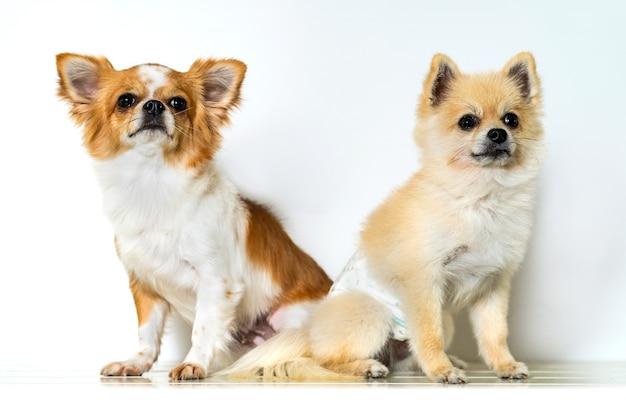 Mignon deux chiens chihuahua sur fond blanc