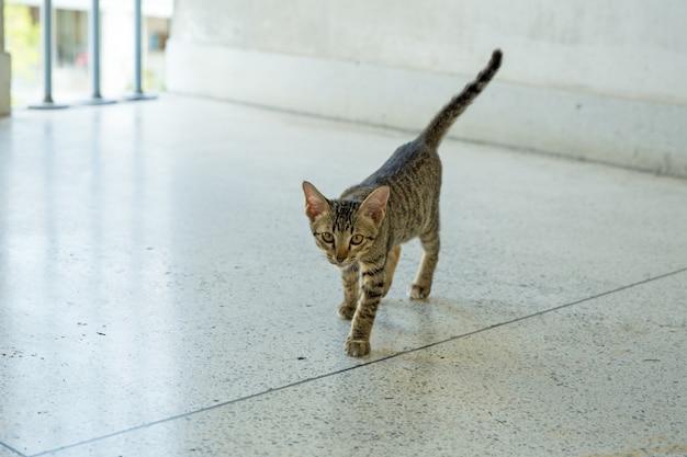Un mignon gris felis ou des chats jouant au sol, c'est un chat siamois qu'ils regardent la caméra