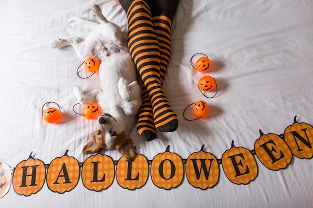 Mignon jeune petit chien allongé sur le lit à côté des jambes de son propriétaire portant des chaussettes noires et orange. concept d'halloween. vue d'en-haut