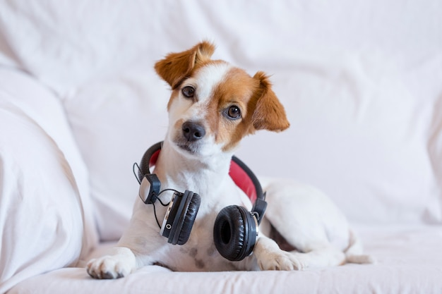 Mignon jeune petit chien écoute assis sur le canapé avec des écouteurs.