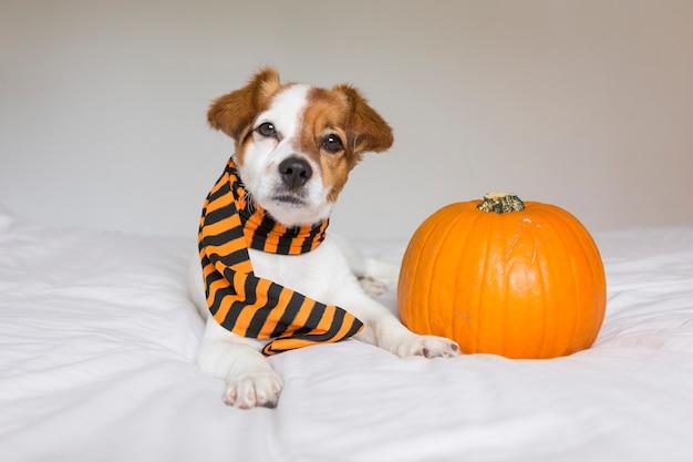 Mignon jeune petit chien posant sur le lit portant une écharpe orange et noire et allongé à côté d'une citrouille. concept d'halloween