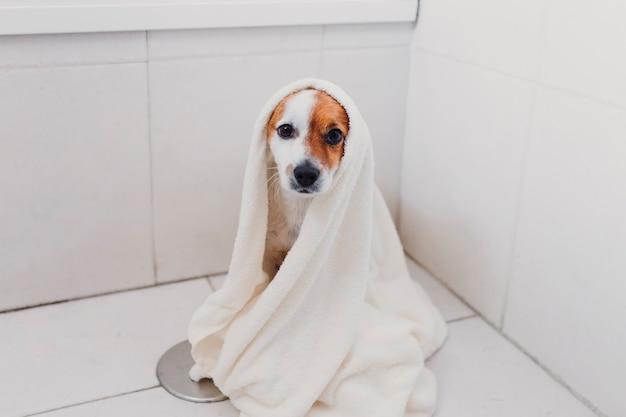 Mignon joli petit chien mouillé dans la baignoire. jeune femme propriétaire fait sécher son chien à la maison