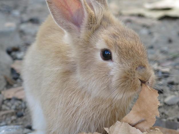 Un mignon lapin à sourcils mangeant des feuilles sèches dans la ferme