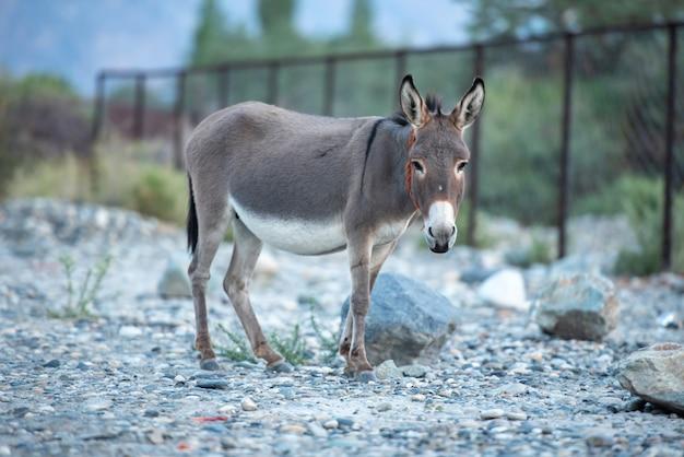 Mignon petit âne au paysage de la vallée de la nubra, leh, district de ladakh, en inde.