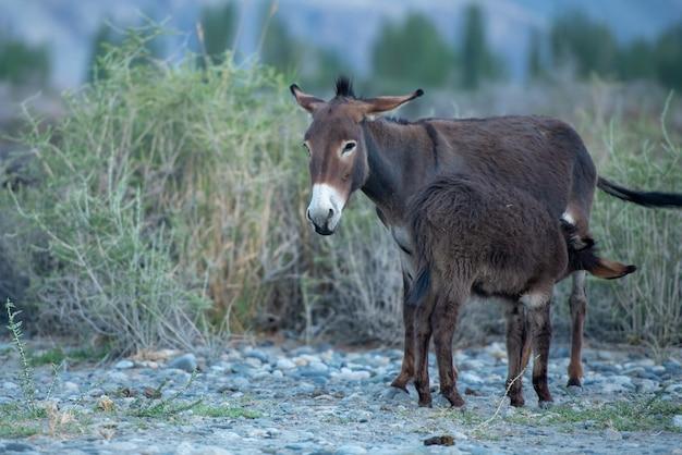 Mignon petit âne avec sa mère au paysage de la vallée de la nubra, leh, district de ladakh, en inde.