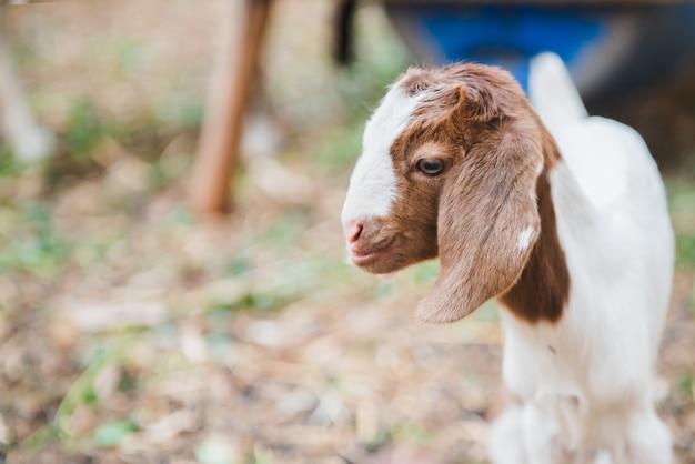 Mignon petit bébé chèvre debout dans le domaine