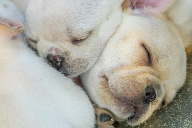 Mignon petit bouledogue français dormant ensemble, gros plan.