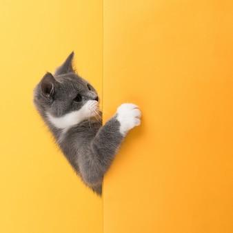Le mignon petit chat gris, sur un jaune, regarde et joue. buisiness,, copyspace.