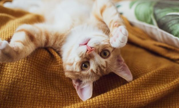Mignon petit chaton au gingembre dormant dans une couverture