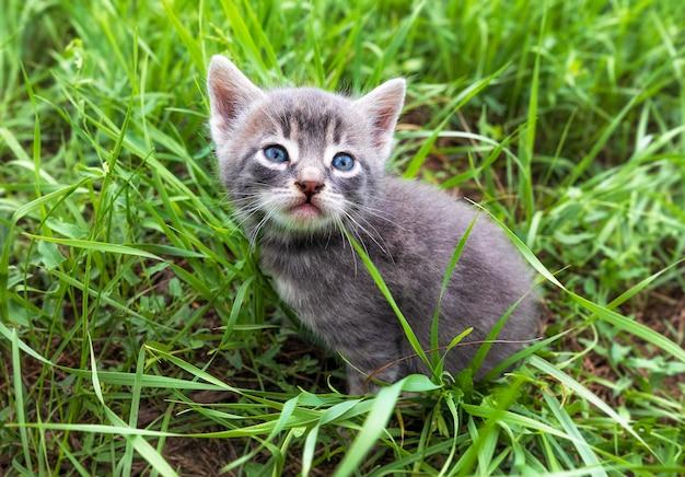 Mignon petit chaton aux yeux bleus se trouve parmi les jeunes herbes vertes