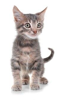 Mignon petit chaton gris, sur blanc