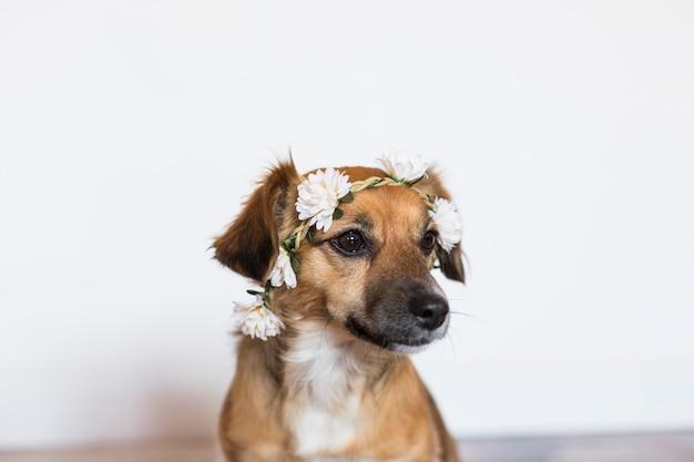 Mignon petit chien brun portant une couronne de roses sur fond blanc. amour pour les animaux concept. mode de vie