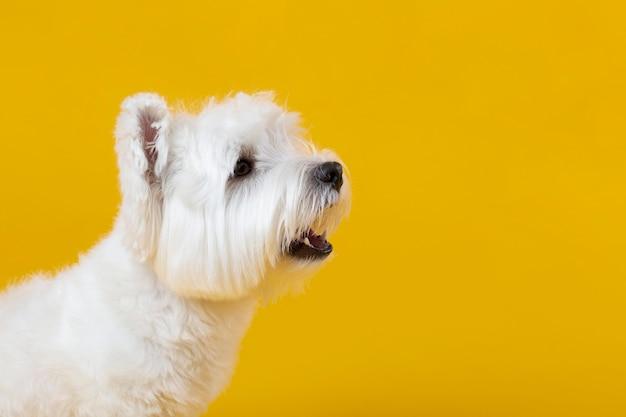 Mignon petit chien isolé sur jaune