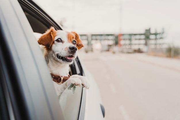 Mignon petit chien jack russell dans une voiture en regardant par la fenêtre