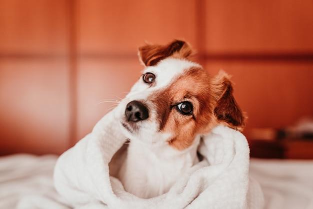 Mignon petit chien jack russell reposant sur le lit par une journée ensoleillée recouverte d'une couverture
