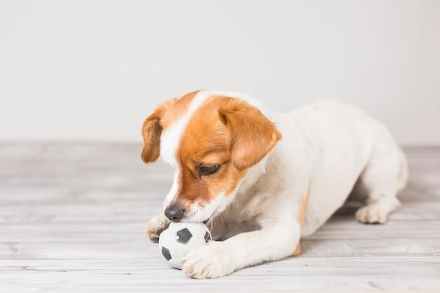 Mignon petit chien jouant avec une balle de tennis et s'amusant à mordre la balle