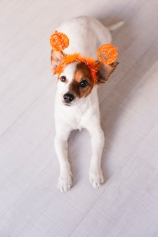 Mignon petit chien reposant sur le sol et regardant la caméra, portant un diadème halloween orange. concept, style de vie à l'intérieur