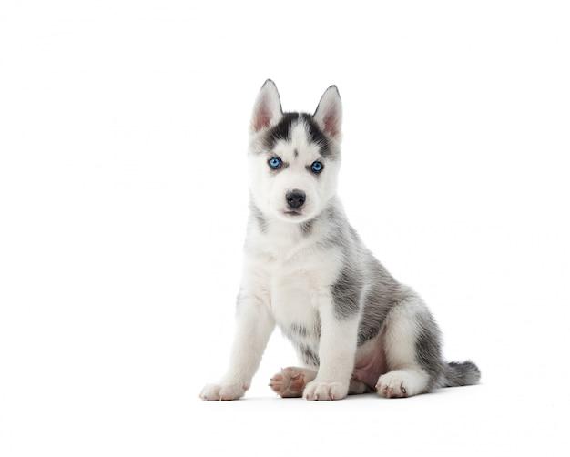 Mignon petit chiot husky sibérien assis isolé sur blanc
